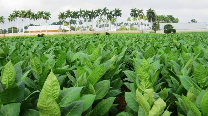 Habano Festival Travels to Pinar del Rio Tobacco Plantations. Photo taken from http://www.telepinar.icrt.cu