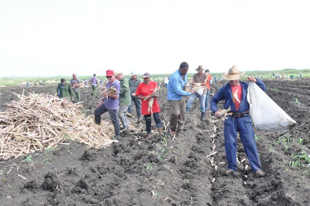 Sancti Spiritus Mobilizes for Sugar Cane Planting (Photo: Vicente Brito / Escambray)