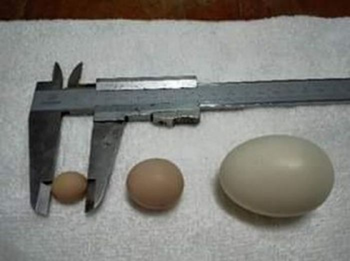 escambray today, egg, chicken, tiny egg, guinness world records