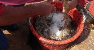 shrimps, tunas de zaza, sancti spiritus