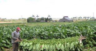 agricultura, tabaco, sancti spíritus
