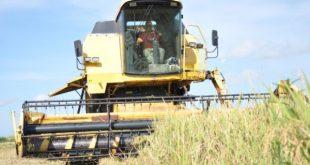 rice production in la sierpe