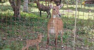 first nilgai antelope born in sancti spiritus