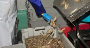 A worker processes shrimp in Tunas de Zaza, Sancti Spiritus, Cuba