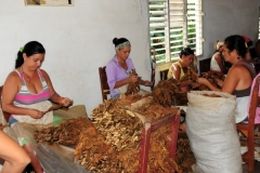 Women present in agriculture tasks. (Photo: Vicente Brito / Escambray).