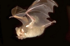 The small Jamaican Bat (Murciélago frutero chico), one of the most uncommon in Cuba. (Photo: Courtesy of Abel Hernández)