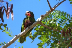 The Cuban Parrot (Cotorra) is threatened due to its captive charms in domestic life. (Photo: Courtesy of Abel Hernández)
