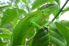 Cuban Green Anole (Chipojo Verde), a typical Cuban reptile. (Photo: Courtesy of Abel Hernández)