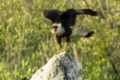 The Carara (Caraira) is one of the birds in danger of extintion. (Photo: Courtesy of Abel Hernández)